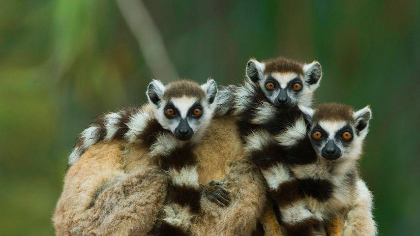 Lémurs catta dans la réserve de Berenty, Madagascar