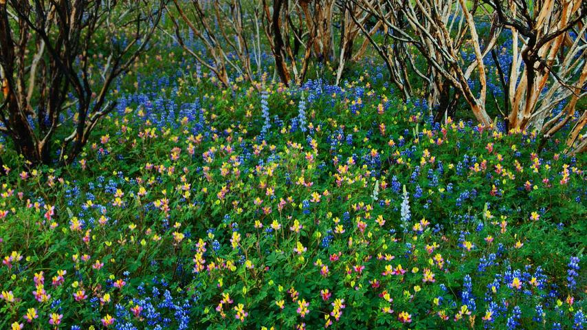 Lupine grows in a burned forest at Yosemite National Park, California