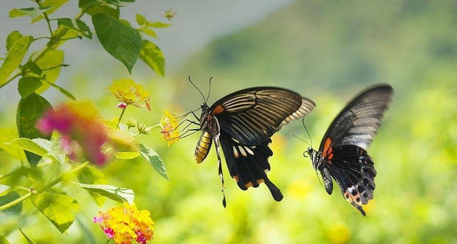飞行中的凤蝶