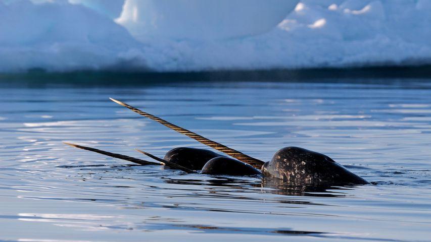 Narvales cerca de la isla de Baffin, en Nunavut, Canadá