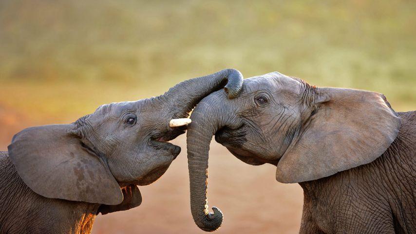 Elefanten im Addo-Elefanten-Nationalpark, Südafrika