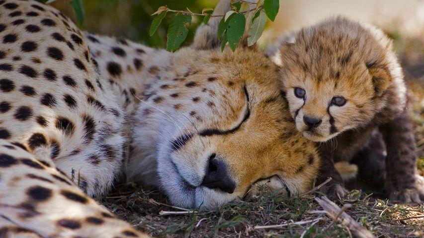 Cheetah mother and her week-old cub, Maasai Mara National Reserve, Kenya