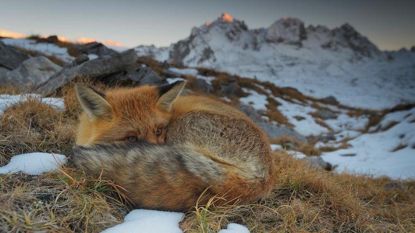 Gros plan d'un renard roux dans le parc national de la Vanoise, Savoie