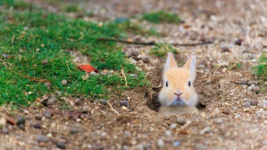 Baby feral domestic rabbit, Ōkunoshima Island (aka Rabbit Island), Hiroshima, Japan