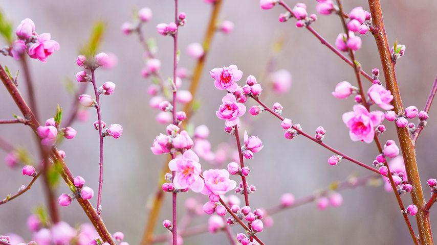 「桃の花」