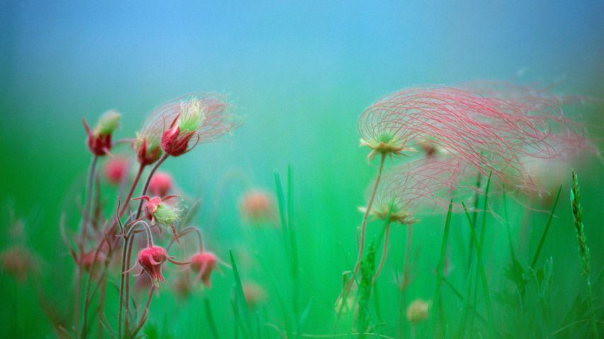 Prairie smoke blossoms