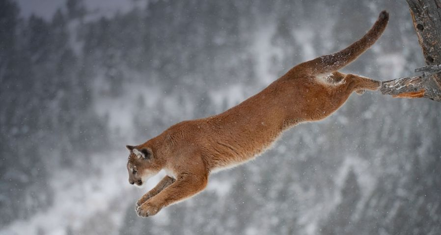 Mountain lion jumping from a tree in Montana