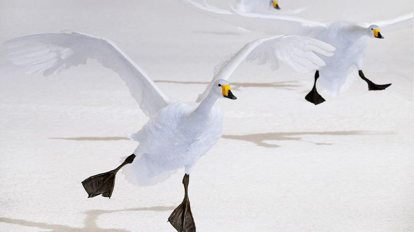 Singschwäne auf dem Kussharo-See, Hokkaido, Japan