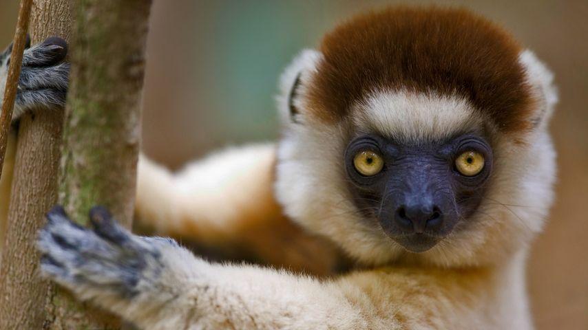 Verreaux's sifaka in Berenty Reserve, Madagascar