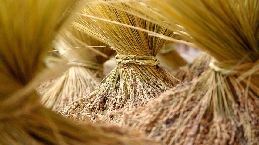 【今日秋分】大丰收的稻草束,广西龙胜各族自治县