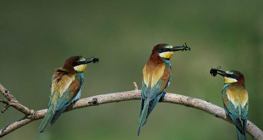 匈牙利国家公园中的蜂虎鸟