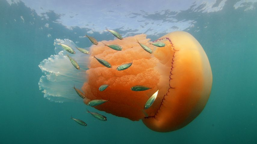 A barrel jellyfish and Atlantic horse mackerel at Kimmeridge Bay, Isle of Purbeck, Dorset