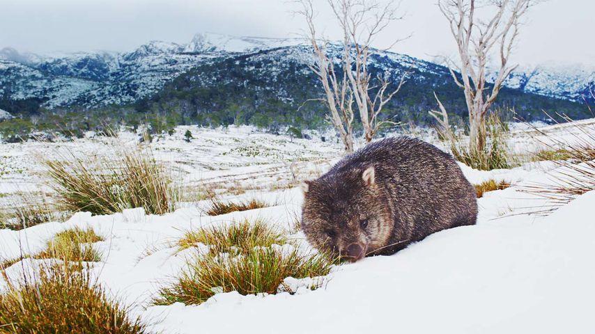 塔斯马尼亚,摇篮山圣克莱尔湖国家公园,正在觅食的塔斯马尼亚袋熊