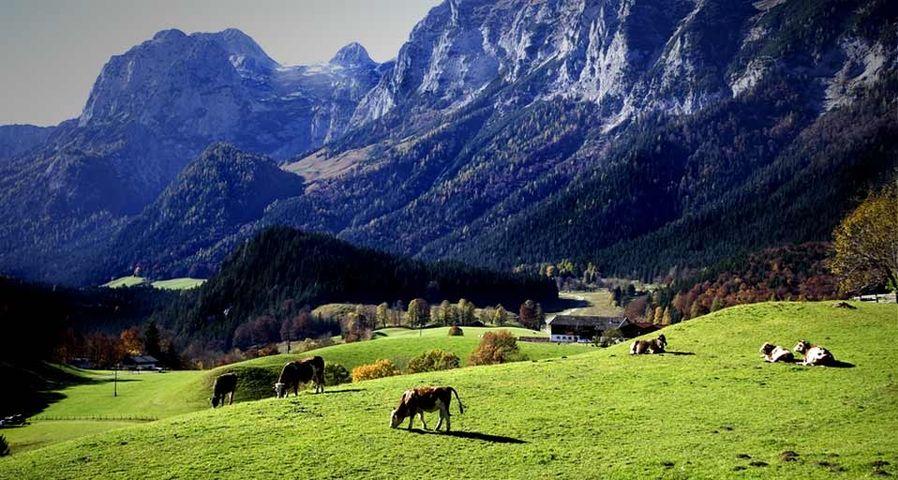 Kühe grasen im bayerischen Voralpenland in der Nähe von Berchtesgaden, Deutschland – Wolfgang Weinhäupl/Mauritius/Photolibrary ©