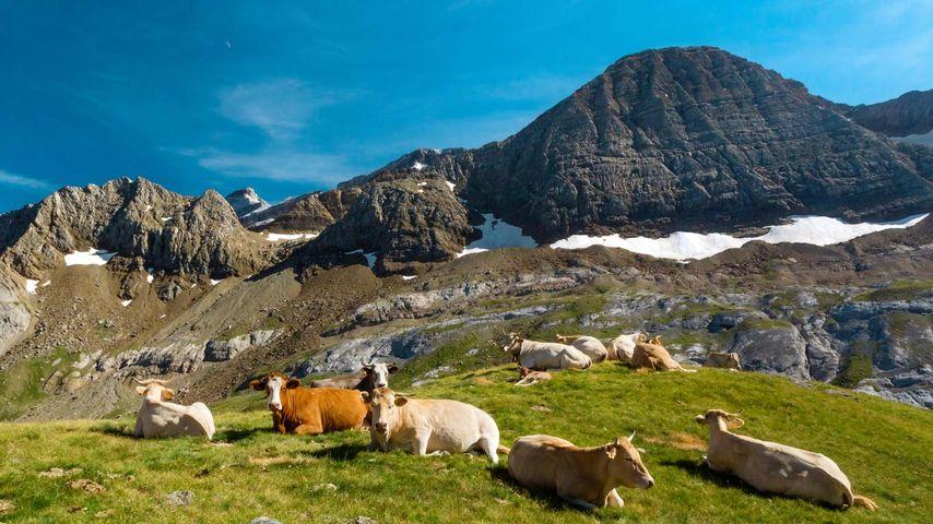 Trouveau de vaches au col des Tentes, Hautes-Pyrénées, Occitanie
