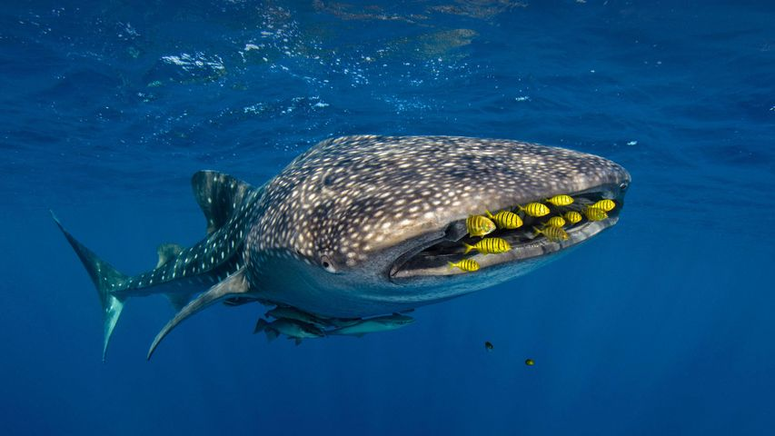 Golden trevally swim with a whale shark in Cenderawasih Bay, Indonesia