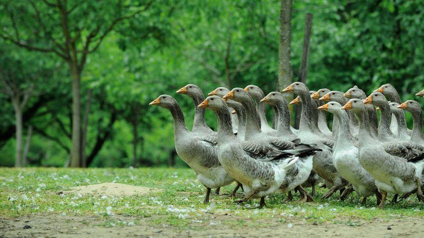 Troupeau d'oies domestiques en Dordogne
