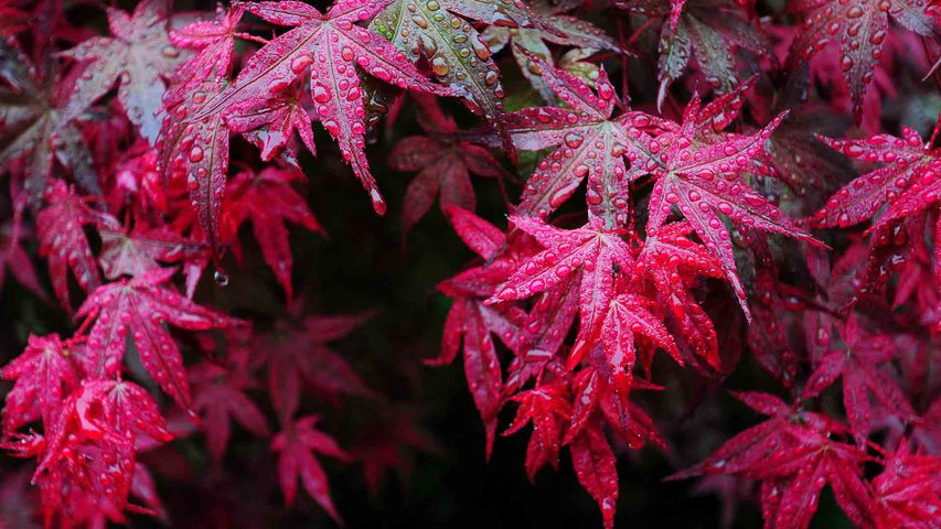 【今日寒露】枫叶上的露滴,中国四川华蓥