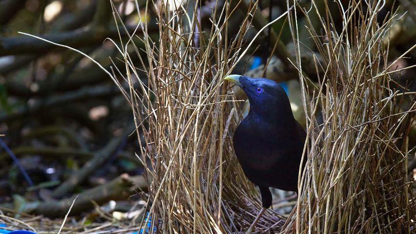 Satin bowerbird in Bunya Mountains National Park, Queensland