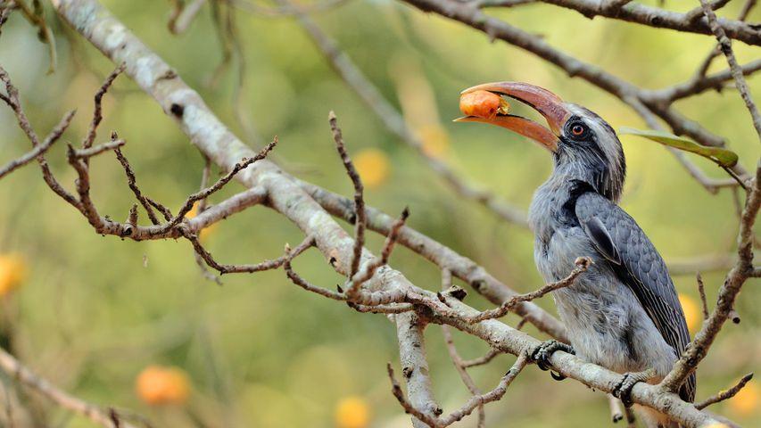 Malabar grey hornbill feeding on a fig tree at Dandeli, Karnataka
