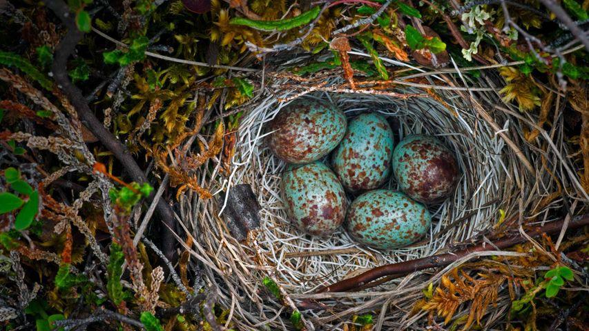 Vogelnest, Arctic National Wildlife Refuge, Alaska, USA