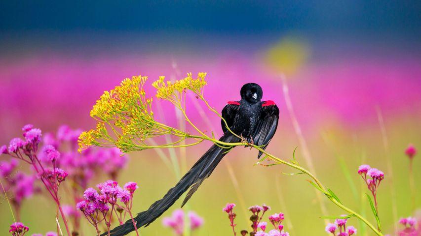 利特弗雷自然保护区内的雄性长尾巧织雀,南非