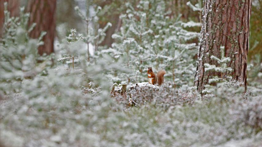Écureuil roux, Parc national de Cairngorms, Écosse