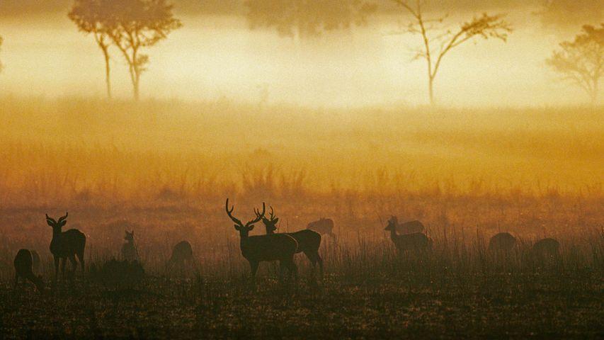 「霧の中のアクシスジカ」インド, マディヤ・プラデーシュ州