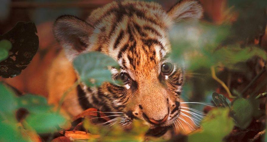 印度国家公园中刚满月的老虎幼崽