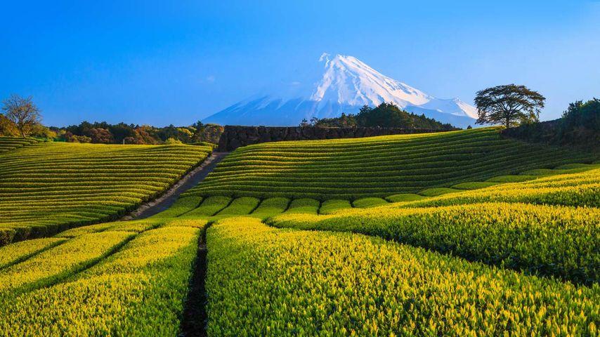 「富士山と茶畑」静岡, 富士市