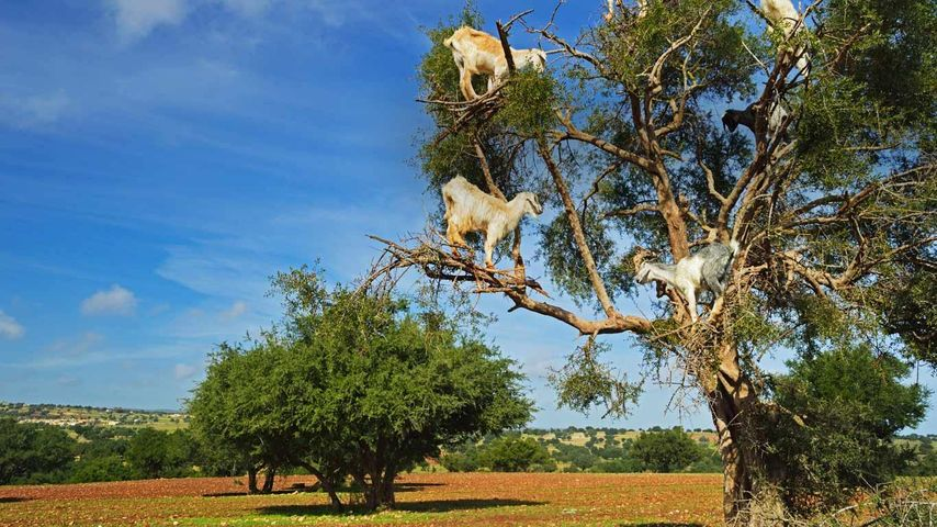 Goats on tree, Morocco, Africa