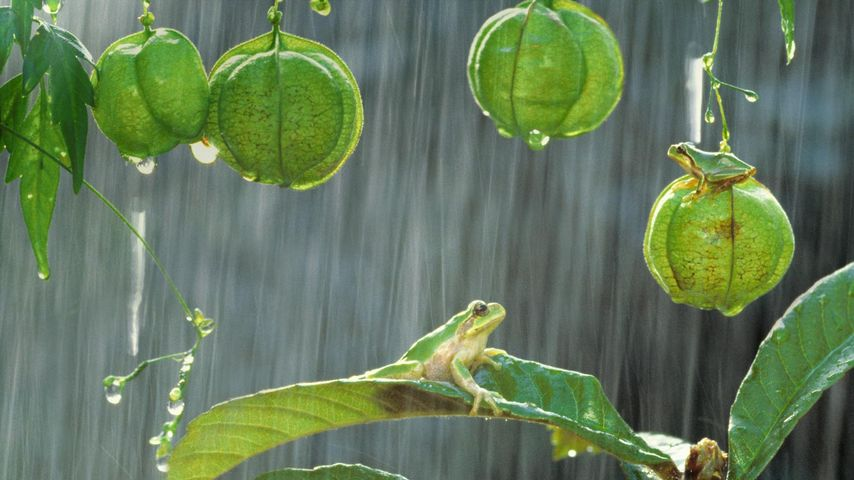 Japanese tree frogs