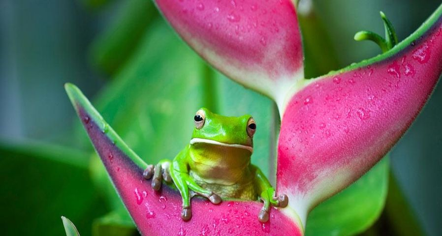 White-lipped tree frog (Litoria infrafrenata) on a heliconia flower in Cairns, Queensland, Australia