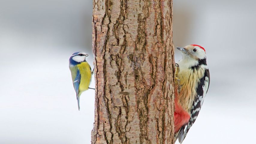 Middle spotted woodpecker and blue tit