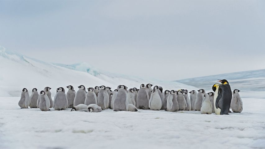 Emperor penguin adults and chicks at the Snow Hill Island rookery, Antarctica