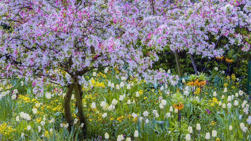 Springtime in Claude Monet's garden, Giverny, France