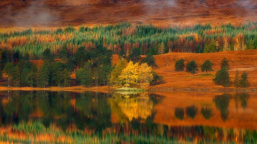 Larch trees at Loch Tulla in the Highlands of Scotland
