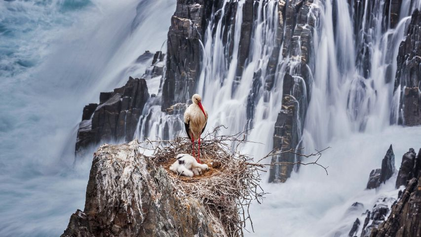 A white stork and chicks nesting in Southwest Alentejo and Vicentine Coast Natural Park, Portugal