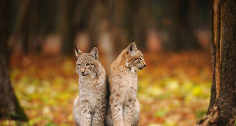 Zwei Luchse im Nationalpark Bayerischer Wald – David & Micha Sheldon/F1 Online/Photolibrary ©