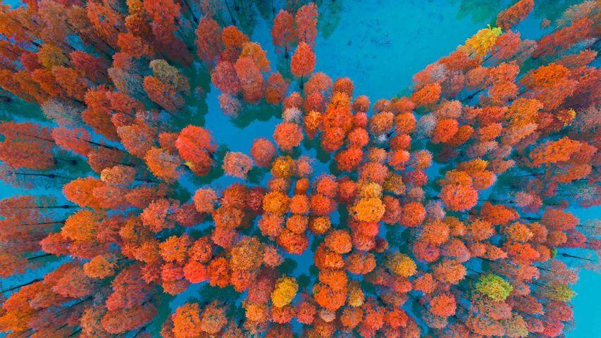 Dawn redwoods in a lake at Zimaling Park, Zhongshan, China