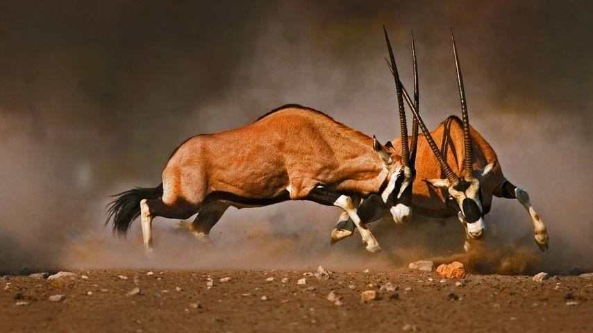 Oryx gazelles mâles combattant dans le parc national d'Etosha, Namibie
