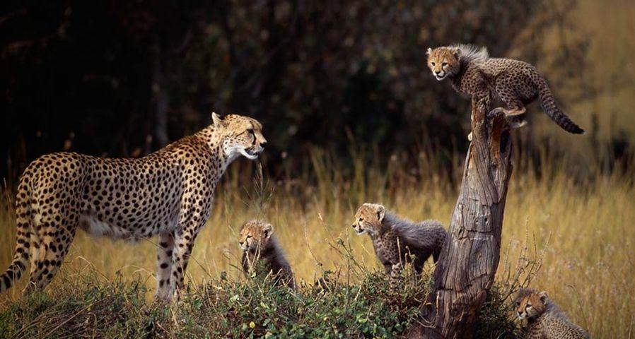 肯尼亚马赛马拉国家保护区中,猎豹和它的幼崽们