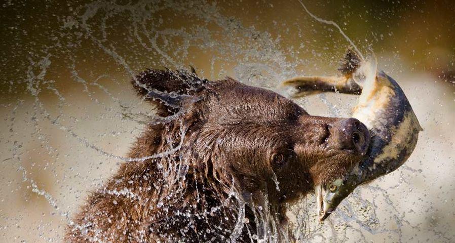正在捕鱼的阿拉斯加棕熊