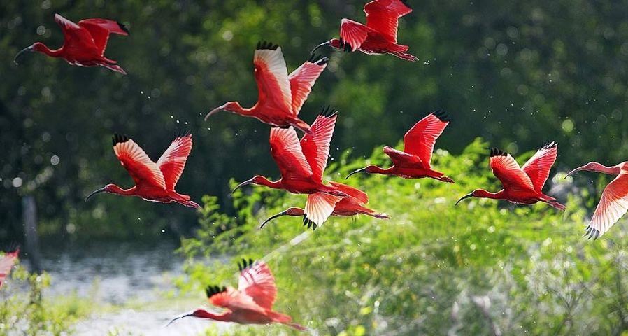 一群飞舞的美洲红鹮