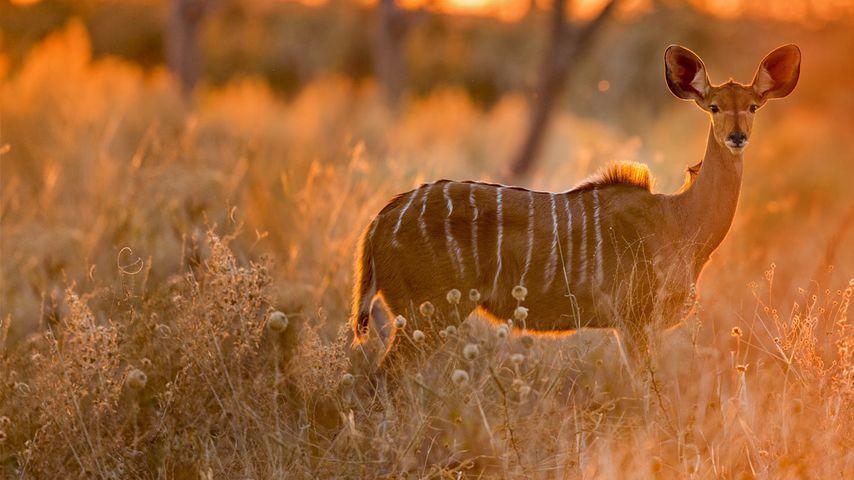 Female greater kudu in Chobe National Park, Botswana