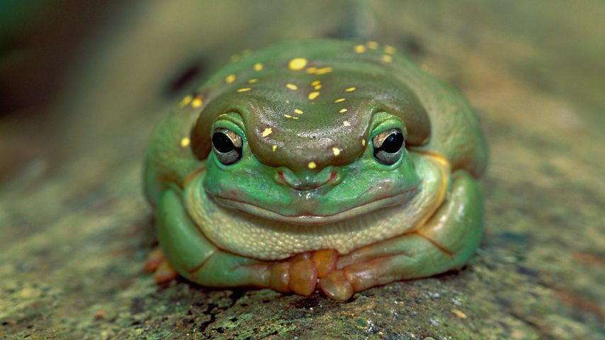 Magnificent tree frog in Drysdale River National Park, Australia