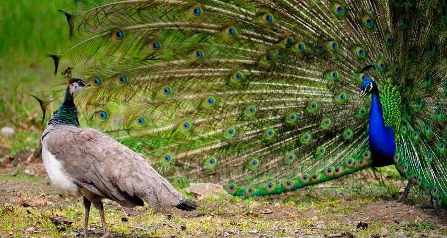 开屏的雄孔雀吸引了雌孔雀的关注