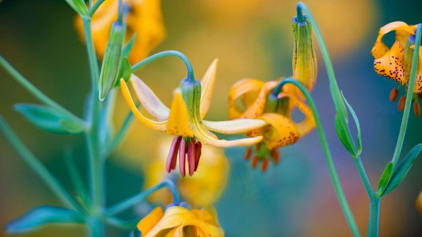 Columbia lilies on Hurricane Ridge, Olympic National Park, Washington