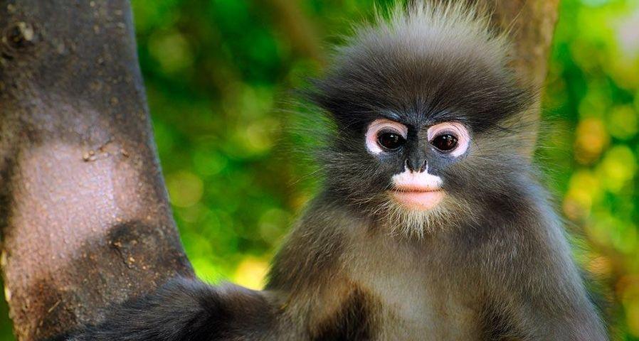 Dusky leaf monkey, Khao Sam Roi Yot National Park, Thailand
