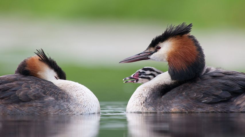 Great crested grebes with chick in Vlaardingen, Netherlands